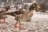 Greylag in Winter — Stock Photo