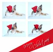 Merry Christmas with collie dog — Stock Photo