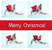 Merry Christmas card with collie dog — Stock Photo