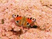Motyl na różowy kwiat — Zdjęcie stockowe