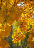 tree crone - golden leaves — Stock Photo