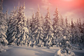 Fir-trees and fresh snow. — Stockfoto