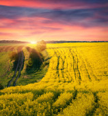 Field of blossom canola — Stock Photo