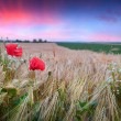 Wheat field with poppies and daisies — Stock Photo #64314905