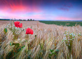 Wheat field with poppies and daisies — Foto de Stock