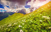 Daisies in Caucasus mountains — Stock Photo