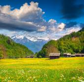 Flowers in the swiss alps. — Stock Photo