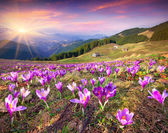 Crocuses at spring in the mountains — Stock Photo