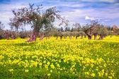 Blooming tangerine garden — Stock Photo