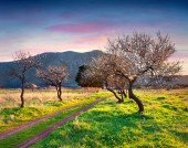 Bloosoming almond garden — Stock Photo
