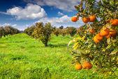 Sunny morning in orange garden — Stock Photo