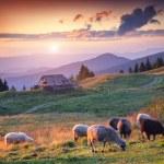 Sheep grazing in the Carpathian mountains — Stock Photo #67989987