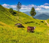 Gado em um pasto de montanha. — Fotografia Stock