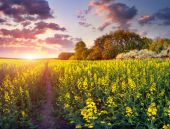 Sunrise in the field of yellow flowers. — Stock Photo