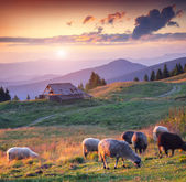 Sheep grazing in the Carpathian mountains — Stock Photo