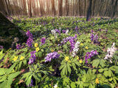 Meadow flowers in spring forest — Stock Photo