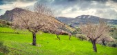 Flowering almond garden in Sicily — Stock Photo