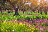 Blooming tangerine garden at Cape Milazzo — Stock Photo