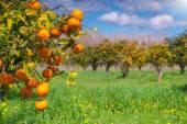 Morning in orange garden — Stock Photo