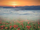 Field of blossom poppies — Foto de Stock