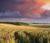 Meadow of wheat and poppies — Stock Photo