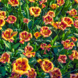 Top view of the tulip flowers — Stock Photo #72051575