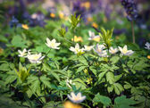 Blooming anemone flowers — Stock Photo