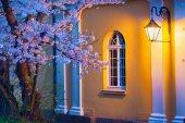 Blooming sakura illuminated by lamp — Stok fotoğraf
