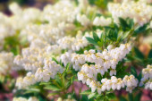 Blooming of white flowers — Stock Photo