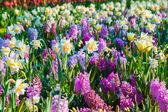 Spring flowers in the Keukenhof park — Stock Photo