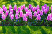 Marvellous hyacinth flowers in the Keukenhof park — Stock Photo
