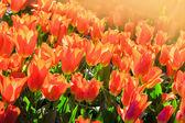 Keukenhof outdoor tulip flower scenery. Beautiful present. Sprin — Fotografia Stock