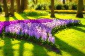 Marvellous hyacinth flowers in the Keukenhof park — Stock Photo