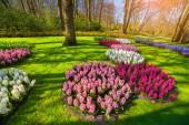 Marvellous hyacinth flowers — Stock Photo