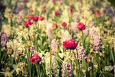 Spring flowers in the Keukenhof park — Stock Photo