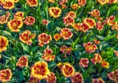 Top view of the tulip flowers — Stock Photo