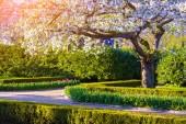 Blooming sakura in the spring — Stock Photo