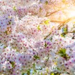 Blooming sakura flowers — Stock Photo #72591159