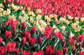 Marvellous red and white tulips — Stock Photo