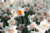 White narcissus in the Keukenhof park — Stock Photo