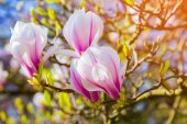 Blooming magnolia flowers — Stock Photo