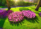 Marvellous pink hyacinth flowers — Stock Photo