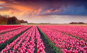 Sunrise on the tulip farm — Stock Photo