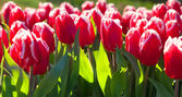 Marvellous red tulips in the Keukenhof park — Stock Photo