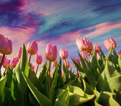 Springtime pink tulips blossom — Stock Photo