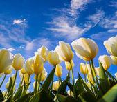 Springtime white tulips blossom — Stock Photo