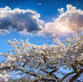 Blooming sakura flowers — Stock Photo