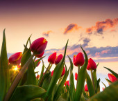 Springtime red tulips blossoms — Stock Photo