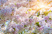 Blooming sakura flowers — Stock Photo