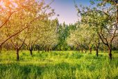 Morning in the blossom apples — Stock Photo